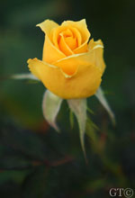 yellow_rose3
